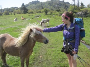 Feral ponies roam the Grayson Highlands.