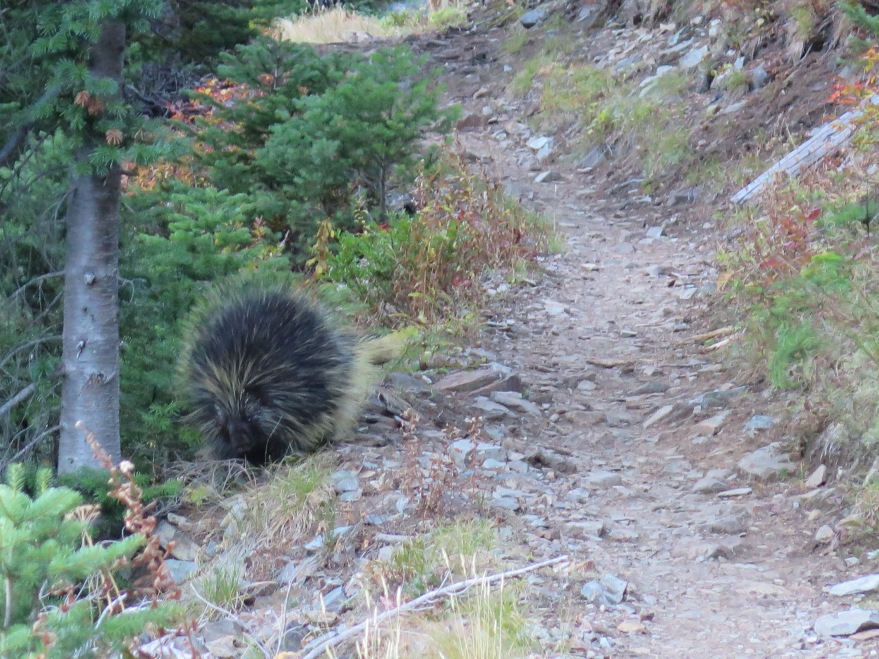 A porcupine in the trail!